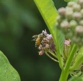 Honungsbicloseup Fotografering för Bildbyråer