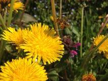 Honungsbiflyg in mot blomman Arkivbild