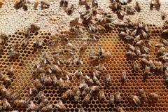 Honungsbin i en bikupa Royaltyfri Foto