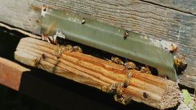 Honungsbin på ingången till bikupan Royaltyfri Foto