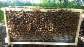 Honungsbin på ram Arkivfoto