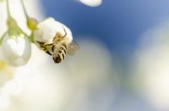 Honungsbis tillbaka päls arkivfoton