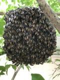Honungskaka som hänger från en trädfilial Arkivfoto