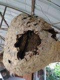 Honungskaka Wasp Arkivfoto
