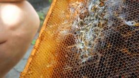 Honungskakan för tugga för larvvaxmal lager videofilmer