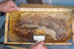 Honungskakan ska öppna den unwaxing gaffelbeekeeperen uncapped för den guld- skörden - läcker honung Arkivfoto