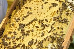 Honungskakor med bin close upp Arkivfoton