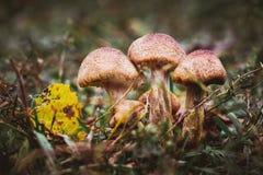 Honungsvamp på örter i skogen i en mörk place_ royaltyfri fotografi