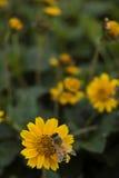 honungtillverkare Arkivfoto