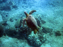Honus (Green Turtles) at a Cleaning Station 1 of 2 Stock Image