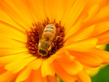 Hony bee Royalty Free Stock Images