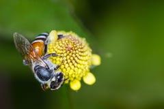 Hony kwiaty i pszczoła Zdjęcia Royalty Free