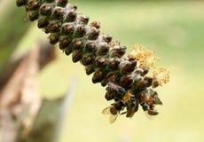 Hony robi formularzowego drzewa Obrazy Stock