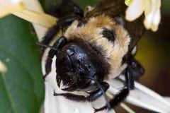 Honysuckle mit Biene Lizenzfreies Stockfoto