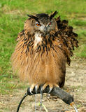 The Hoo Hoo Owl. Hoo Hoo owl sitting on a perch in a field in summer royalty free stock images