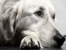 Hooch thinking. Hooch on the floor thingking royalty free stock images