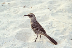 Hood mockingbird, Galapagos Islands, Ecuador Stock Images