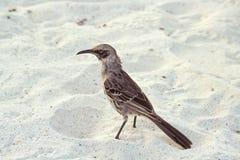 Hood mockingbird, Galapagos Islands, Ecuador. Hood mockingbird (Nesomimus macdonaldi) on beach at Gardner Bay, Espanola, Galapagos Islands, Ecuador Stock Images