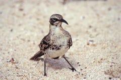 Hood mockingbird, Galapagos Islands, Ecuador. Hood mockingbird (Nesomimus macdonaldi) on beach at Gardner Bay, Espanola, Galapagos Islands, Ecuador Royalty Free Stock Photography