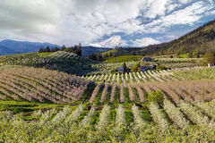 Hood River Pear Orchards on a Cloudy Day springtime. Pear Orchards Rolling Hills and Mount Adams View at Hood River Oregon on a cloudy day spring season Royalty Free Stock Image