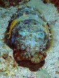 hooded bläckfisk Arkivbild