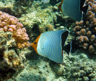 Hooded butterfly fish. In the natural environment of the Red sea Stock Photo