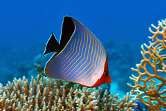 Hooded butterflyfish Stock Photography