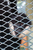 Hooded Capuchin Monkey Stock Photography