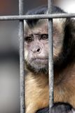 Hooded Capuchin Monkey Behind Bars. Close-up of a Hooded Capuchin Monkey contemplating life behind bars in a big city zoo, captive setting (shallow focus stock image