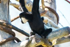 Hooded Capuchin Monkeys Royalty Free Stock Photography