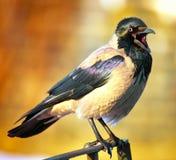 hooded cornixcorvusgalande Arkivbild