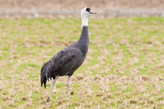 Hooded Crane Stock Photos