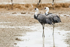 Hooded Cranes Royalty Free Stock Images