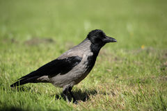 A hooded crow. Royalty Free Stock Photography