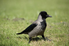 A hooded crow. Stock Images