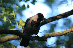 A hooded crow. Stock Photography