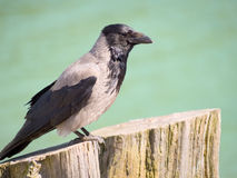 Hooded crow. A portrait of a Hooded Crow (Corvus cornix Stock Photography