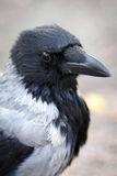 Hooded Crow Royalty Free Stock Photo