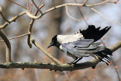 Hooded crow Stock Images
