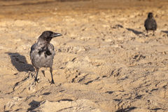 Hooded crow Royalty Free Stock Images