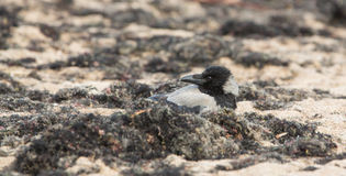 Hooded Crow at the beach Stock Photo