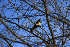 Hooded crow on the branch of the tree Stock Images