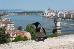 Hooded crow in the Buda Castle royalty free stock photography