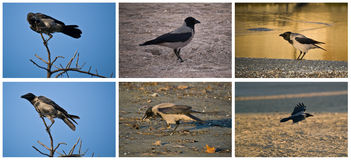 Hooded Crow collage. Hooded Crow (Corvus cornix) collage Royalty Free Stock Photo