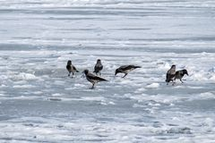 Hooded crow collect the remains of food left by fishermen on the ice of a frozen river. Corvus cornix Royalty Free Stock Photography