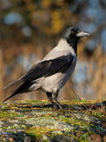 Hooded Crow Corvus cornix. Standing on a rock Stock Photography