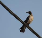 Hooded Crow (Corvus cornix) Royalty Free Stock Images