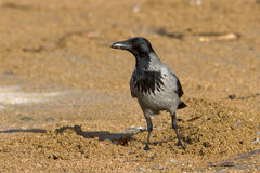 Hooded Crow (Corvus cornix) Royalty Free Stock Photography