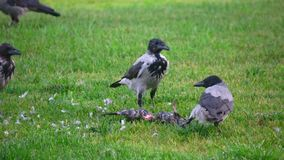 Hooded crow (Corvus cornix, also called hoodiecrow stock footage
