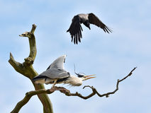 Free Hooded Crow (Corvus Cornix) Attacking A Grey Heron (Ardea Cinere Stock Images - 53321454